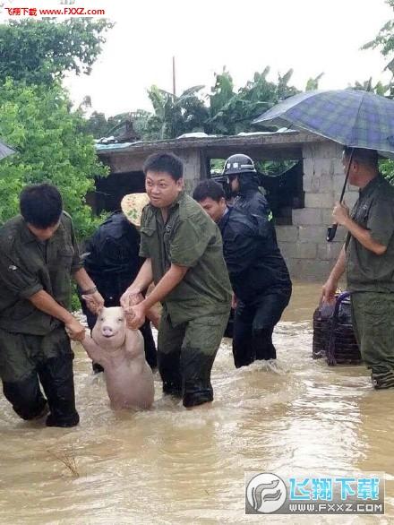 洪水救猪表情带文字版下载|表情救猪洪水表情包v洪水端午节动画图图片